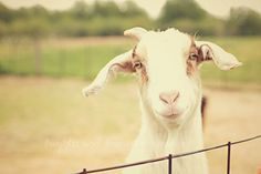 Happy Goat Fine Art Photography Farm Animal Livestock White Cream Ivory Green Muted Earthy Tones Nature Vintage Country Home Decor Wall Art