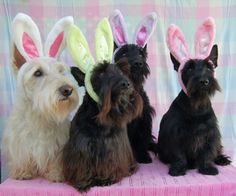 Oh help, I love Easter-Scotties too... can't believe they got this photo!