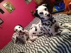 Domino and Ammo #dalmatians #ilovemydogs