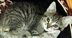 Adopt A Cat - Domestic Short Hair   Oviedo, FL - Bernadette   AllPaws