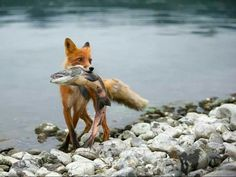 That fish is practically the same size of that fox...good eats, man