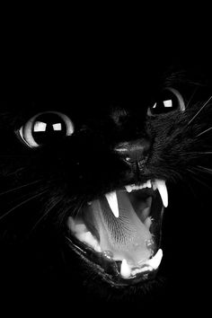 Black Cat, love the details. Cool Cats, I Love Cats, Beautiful Cats, Animals Beautiful, Cute Animals, Crazy Cat Lady, Crazy Cats, Chat Halloween, Halloween Black Cat
