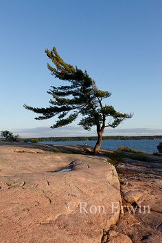 Georgian Bay - we have vacationed in Nobel, Ontario since the summer of We look forward to relaxation and fun in the water and sun! Pine Tree Art, Pine Tree Tattoo, Tree Photography, Landscape Photography, Group Of Seven Paintings, Algonquin Park, Beach Camping, Camping Tips, Photo Tree