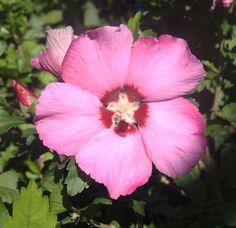 HIBISCUS syr. PINK GIANT ® 'Flogi' Flowers, Plants, Pink, Hibiscus, Florals, Hot Pink, Plant, Pink Hair, Flower
