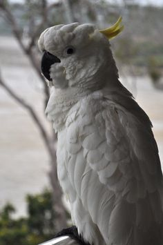 Sulfur Crested Cockatoo - Hamilton Island, Australia