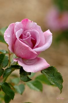 Beautiful Rose Flowers, Flowers Nature, Amazing Flowers, Beautiful Flowers, Lavender Roses, Purple Roses, Pink Flowers, Rose Reference, Hybrid Tea Roses