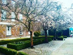 #AskAnAmbassador for #trumpingtonstreet and #fitzwilliammuseum to see the blossom  #Cambridge