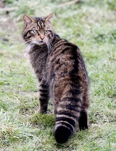 https://flic.kr/p/byjWyR | Wildcat | Scottish wildcat at warnham