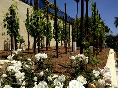 Small Backyard Vineyard 24 best backyard vineyard images on pinterest | backyard vineyard