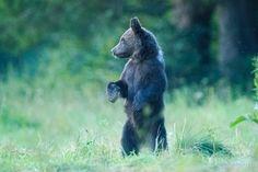Brown bear from Bieszczady Mountains Black Bear, Brown Bear, Wildlife Nature, Mountain S, Poland, Bears, Animals, Beautiful, Wilderness
