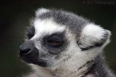 https://flic.kr/p/qPeopF | Lemar - Bristol Zoo | September 2013