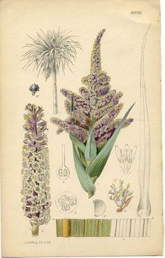 The Curtis Botanical Magazine  Cordyline indivisa     No. 9096, (Volume 151, 1926)
