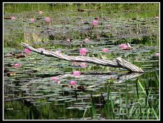 "Lily Pond, filled with pink water lilies, at Reinstein Woods Nature Preserve in Depew, New York. The ""Fine Arts America"" watermark (in the lower right hand corner) will not be on your purchased product. Prices start at $4.30"