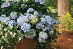 8 Great Plants You Gotta Grow: 'Mini Penny' French Hydrangea