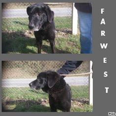 FARWEST  né en 2007 Type : Labrador Sexe : Mâle Age : Senior Couleur : Noir  Taille : Moyen Lieu : Eure - 27 (Haute-Normandie)  Refuge :  SARS Refuge de l'Espérance(Eure) Tél : 02 32 56 00 42