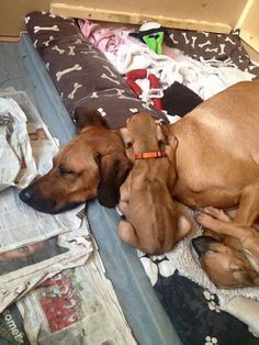 Rhodesian Ridgeback, they are born that way Akc Breeds, Best Dog Breeds, Best Dogs, Animals And Pets, Baby Animals, Cute Animals, Funny Dog Memes, Funny Dogs, I Love Dogs