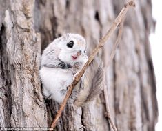 For airborne rodents, Siberian Flying Squirrels are surprisingly cute [6 pictures]...
