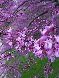 29 best flowering spring trees images on pinterest beautiful photos of purple trees purple flower tree mightylinksfo