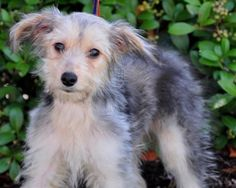 Milo is an adoptable Terrier Dog in Houston, TX. WE ARE NOT A SHELTER. Meet Milo! Milo is an adorable 3.5 month old puppy. We don't know what his breed(s) is however we are listing him as some sort of...