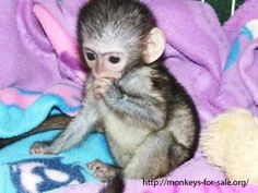 A comprehensive guide to pet monkeys for sale and their grooming