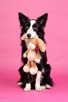 Border collies love their toys