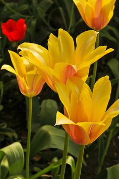 Glorious Golden Tulips