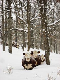 Cows in the snow.