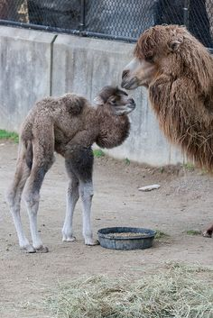 Newborn Camel baby at the Cincinnati Zoo! Baby Male Bactrian Camel - - of by West Chester Dumonts Mundo Animal, My Animal, Cute Baby Animals, Animals And Pets, Wild Animals, Bactrian Camel, Baby Camel, Cincinnati Zoo, All Gods Creatures
