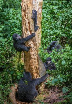 Kongo: En familj bergsgorillor har hittat en riktig festmåltid: ett dött träd. Här får de bland annat i sig massor av nyttiga fibrer, och verkar dessutom ha ganska kul.