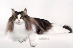 2012 Best Norwegian Forest Cat Alter ...  IW SGCA Vanir Harry Potter