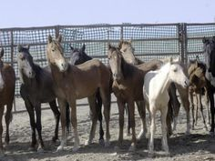 WILD HORSE CULL LACKS SUPPORTING SCIENTIFIC EVIDENCE: DECISION FROM MINISTER ON 2016 CULL IMMINENT
