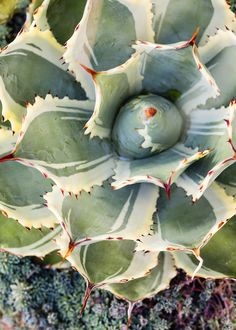 Agave | These easy-care plants add bold forms and color to gardens and containers