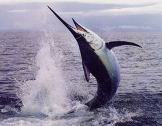 fotos de marlin | Un duro combatiente