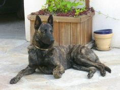 Beautiful Dog Breeds, Beautiful Dogs, Pastor Belga Malinois, Dutch Shepherd Dog, Pet Dogs, Dog Cat, Belgian Malinois Dog, Mountain Dogs, Service Dogs