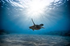 A small turtle swims in the coral reef of the Red Sea and the sunlight touches the moment in an adorable way. The underwater world is fantastic. Under The Water, Underwater Animals, Underwater World, Underwater Photos, Underwater Photography, Animal Photography, Photography Outfits, Photography Tricks, Photography Couples