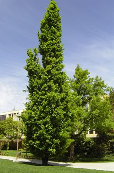 Columnar English Oak - Species: Quercus robur f. fastigiata, Zone: 5-8, Height: 60', Spread: 20', Light: Sun, Growth: Medium, Drought Tolerant: Medium, Notes: Dark green, lobed leaves turn brown in the fall and usually are retained by the tree through the winter along with the acorns.