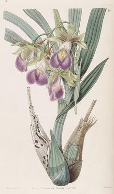 Orchid, botanical illustration