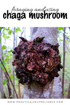 Chaga is one of, if not the most powerful antioxidant there is. This medicinal fungi is a potent herbal medicine that has many benefits and is use in tons of natural remedies! Learn how to forage for chaga mushroom and how to use it! Cold Home Remedies, Herbal Remedies, Health Remedies, Natural Remedies, Edible Wild Mushrooms, Stuffed Mushrooms, Mushrooms Recipes, Ginger Benefits, Wild Edibles