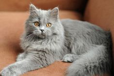 Blue Fluffy British Kittens Cats Russian Blue Cat Long Haired Cats