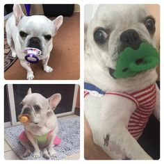 My French Bulldog loves baby pacifiers http://ift.tt/2ouIuao