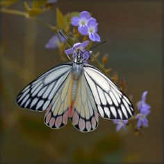 ~~India. Light in the wings... Painted Jezebel Butterfly by lalie sorbet~~