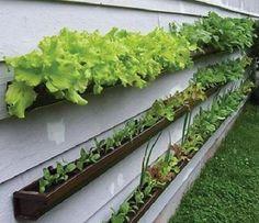 Como fazer uma horta pendurada na parede. Apresentamos-lhe uma forma original de ter uma horta em casa. Trata-se de utilizar as calhas que servem para conduzir a recolher as águas pluviais para plantar as suas verduras. Assim, poderá, além de...