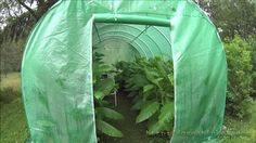 Growing tobacco in a greenhouse in Scandinavia