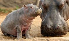Hipopótamo bebê com a mãe. Hipopótamos recém-nascidos são relativamente pequenos, pesando de 25 a 55 quilos, e são protegidos por suas mães ...