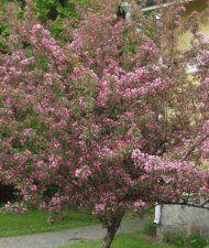 Purppuraomenapuu 'Makamik' - Malus Purpurea-ryhmä