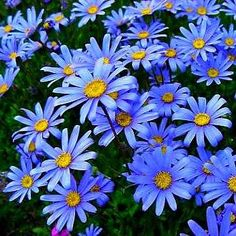 Felicia amelloides is a real eye-catcher. Striking sky-blue flowers with yellow centers stand high above the leaves. It's fast growing, needs little care, and blooms almost year round. True blue is a