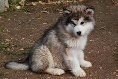 Malamute Puppies, Alaskan Malamute, Snow Dogs, Husky, Animals, Dogs, Animales, Animaux, Animais