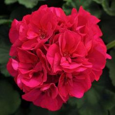geranium dynamo violet zonal The ultimate geranium for garden beds, with big, bright flowers and crisp… Garden Beds, Garden Plants, House Plants, Bright Flowers, Tiny Flowers, Climbing Rose Plants, Geranium Care, Send Roses, Rose Images