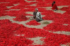 a man removes stalks from red chilli peppers at a farm in Shertha village on the outskirts of Ahmedabad, India Red Chili Peppers, Red Chilli, Fotojournalismus, Picture Editor, Indian Heritage, S Pic, Photojournalism, The Guardian, Cool Photos