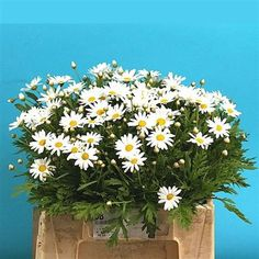 Leucanthemum is a delightful white variety that belongs to the Aster family & has a daisy-like appearance. 50cm tall & wholesaled in 50 stem wraps.